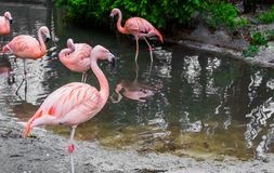 Closeup of a chilean flamingo standing at the water side with other flamingos in the water, near threatened tropical birds from. A closeup of a chilean flamingo royalty free stock images
