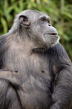 Closeup chimpanzee Royalty Free Stock Photography