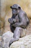 Closeup of chimpanzee (Pan troglodytes) stock photo