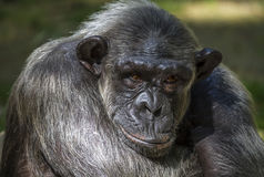 Closeup of chimpanzee (Pan troglodytes) Stock Photos