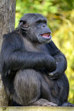 Closeup chimpanzee sitting Stock Images