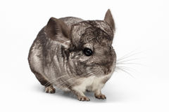 Closeup Chinchilla in Profile View on white Stock Images