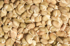 Closeup of Chinese Fava Beans. Closeup of soaked asian fava beans with sprouts Stock Image