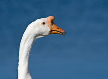 Closeup of Chinese Goose Stock Photos