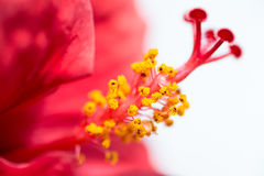Closeup of Chinese Hibiscus. Closeup of red Chinese Hibisci Rosae-Sinensis Flower Royalty Free Stock Images