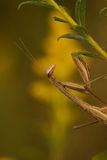A closeup of a Chinese mantid Royalty Free Stock Image