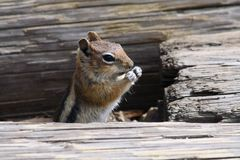 Closeup of a Chipmunk Stock Photo