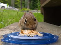 Chipmunk peanut butter photobomb royalty free stock photography