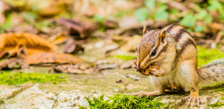 Closeup of chipmunk sitting on a large stone Stock Photography