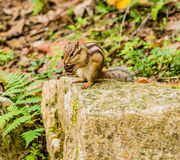 Closeup of chipmunk sitting on a large stone Stock Photos