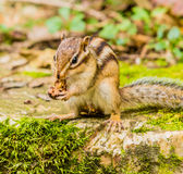 Closeup of chipmunk sitting on a large stone Royalty Free Stock Photography
