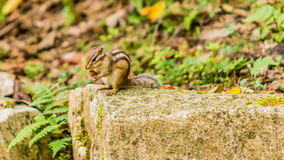Closeup of chipmunk sitting on a large stone Royalty Free Stock Images