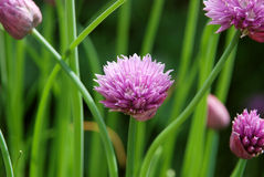 Closeup of a chive flower head Stock Photography