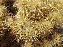 Closeup of Cholla Cactus Spines. To create a star-like effect. Anza-Borrego Desert State Park, California Stock Image