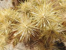 Closeup of Cholla Cactus Spines. To create a star-like effect. Anza-Borrego Desert State Park, California Royalty Free Stock Photo