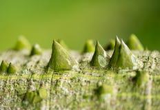 chorisia speciosa trunk Stock Photos