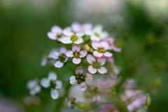 Sweet Alyssum flower. Closeup chot of Sweet Alyssum flower, nice flower background.Shallow DOF Royalty Free Stock Image