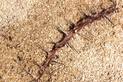Closeup of Christ Thorn Branch on Sand Texture Background Royalty Free Stock Image