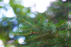Closeup of Christmas pine fir tree branch background Royalty Free Stock Photos