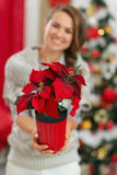 Closeup on Christmas rose in hand of happy woman Stock Photos