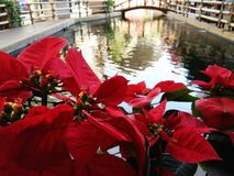 Closeup Christmas rose, poinsettia tree and blurred view of pond. Background stock photo