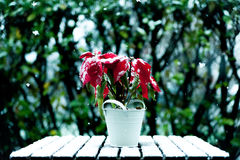 Closeup of christmas star poinsettia plant outdoor with snow and snowflakes falling Royalty Free Stock Photo