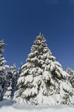 Closeup of Christmas Tree Covered with Snow Royalty Free Stock Photography