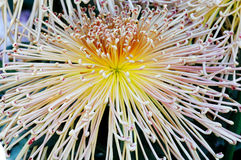 Closeup chrysanthemum Stock Photography