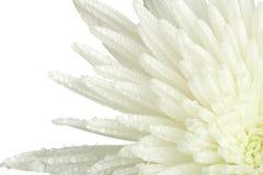 Closeup chrysanthemum bud Royalty Free Stock Photography