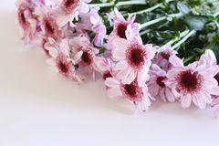 Closeup of Chrysanthemum with copy space with a blurred background. Free place for text royalty free stock photo