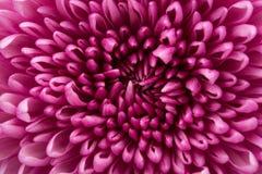 Closeup of Chrysanthemum Flower Background Royalty Free Stock Photo