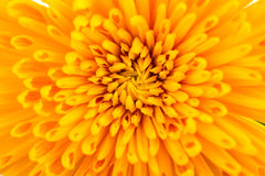 Closeup of Chrysanthemum Flower Background Stock Photo