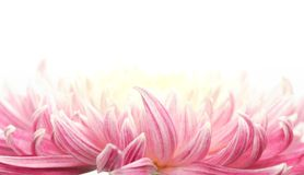 Closeup of chrysanthemum flower petal Royalty Free Stock Images