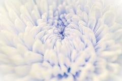 Closeup chrysanthemum petals background Stock Photos
