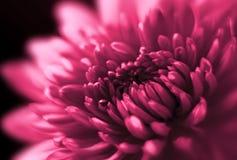 Closeup of Chrysanthemum. Soft focus. Stock Photography