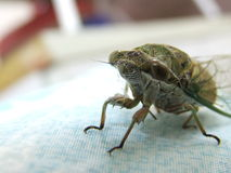 Closeup Cicada insect Stock Photo
