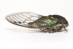 Closeup of a Cicada isolated on white Stock Images