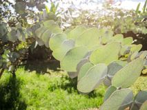 Closeup of cider gum plant growing in garden, sun in background.  stock images