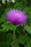 Closeup of a Cirsium Arvense flower blossom Stock Photo