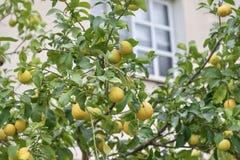 Citrus fruit tree Stock Photo