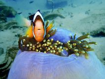 The beauty of underwater world with Clark`s Anemonefish in Sabah, Borneo. Closeup with Clark`s Anemonefish in underwater world diving in Sabah, Borneo stock photos