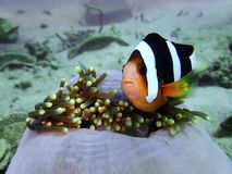 The beauty of underwater world with Clark`s Anemonefish in Sabah, Borneo. Closeup with Clark`s Anemonefish in underwater world diving in Sabah, Borneo stock image