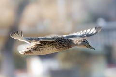 Flying female of the genus Mallard in detail royalty free stock photos