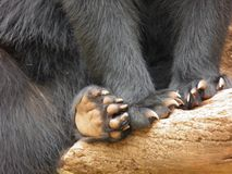 Closeup of the claws of a Spectacled bear royalty free stock photography