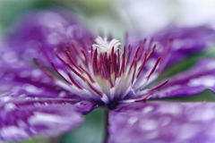 Closeup of Clematis Flower with shallow DOF Royalty Free Stock Photos