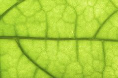 Closeup of clerodendrum leaf Stock Photos