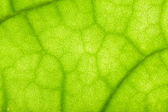 Closeup of clerodendrum leaf Stock Photo