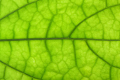 Closeup of clerodendrum leaf Stock Image