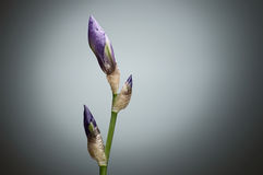 Closeup closed Iris flower buds on green stem against grey backg. Round. Selective focus Royalty Free Stock Image