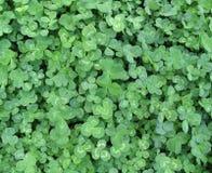 Closeup of clover Stock Photos